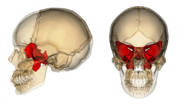 頭蓋骨・蝶形骨