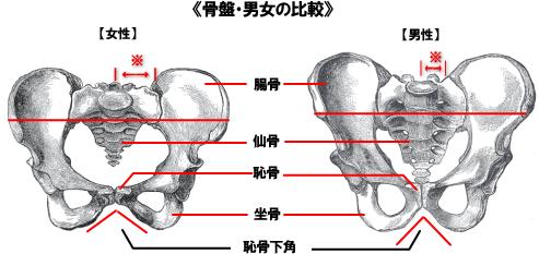 骨盤の男女比較図