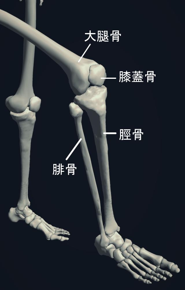 膝周辺の骨格図