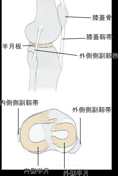 半月板の図