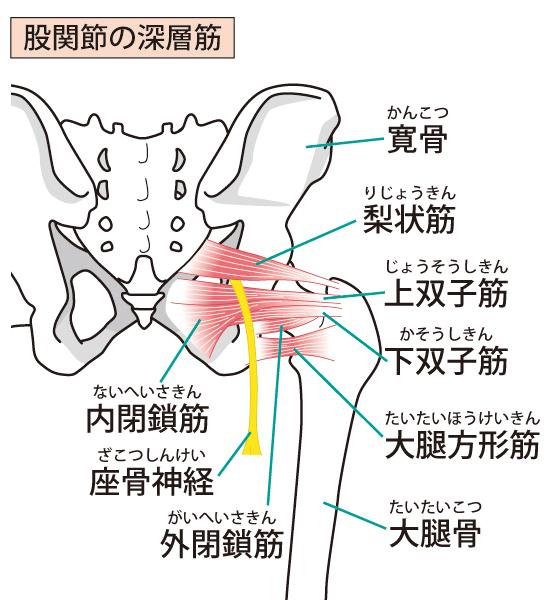 股関節周辺筋肉